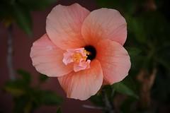 Una flor de Hibiscus