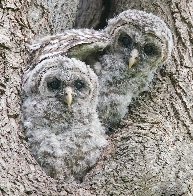 Young Barred Owlets, Sony ILCA-99M2, Sony 500mm F4 G SSM (SAL500F40G)