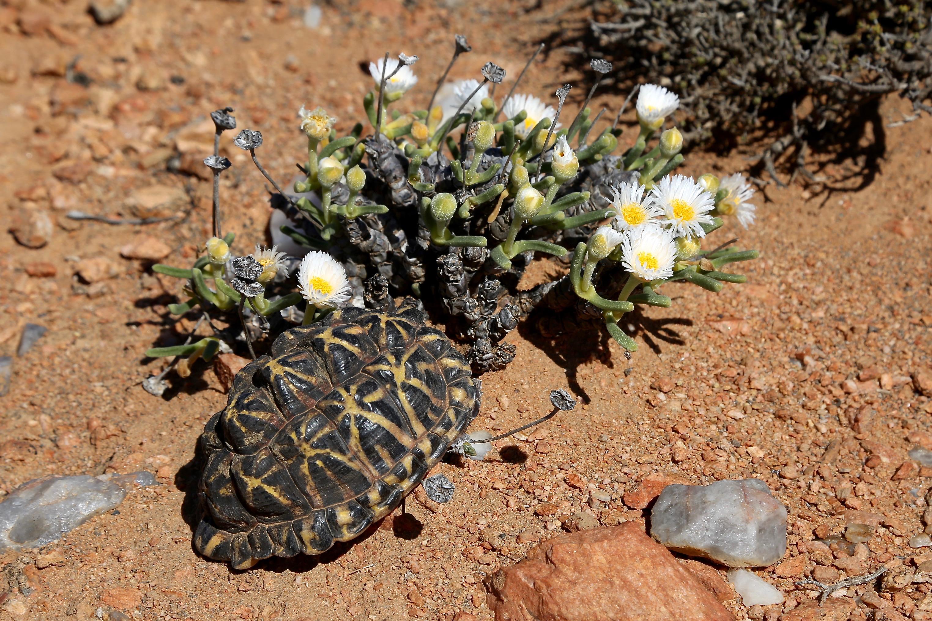 Monilaria scutata ssp. obovata (Aizoaceae) with the Karoo tent tortoise (Psammobates tentorius trimeni)