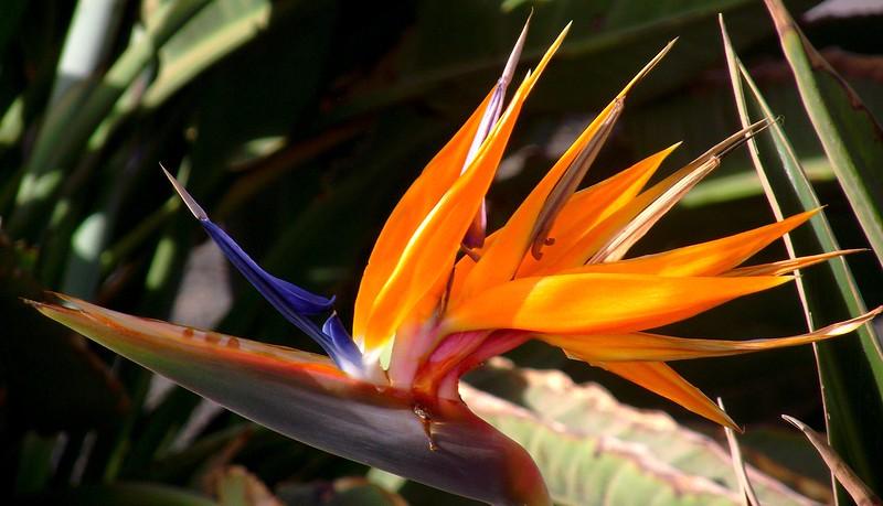 ARRECIFE LANZAROTE BIRD OF PARADISE FLOWER