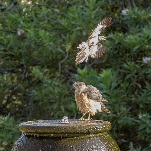 Mockingbird dive bombing Cooper's Hawk
