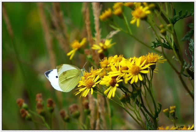 Small White Pieris rapae (PEE-err-iss RAY-pee) Explored.
