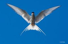 Charrán ártico, Carrán ártico, Arctic Tern, Sterne arctique, Rondine di mare codalunga (Sterna paradisea)