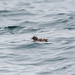 Small photo of Cassin's auklet