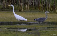 HolderGreat Egret & Grey Heron