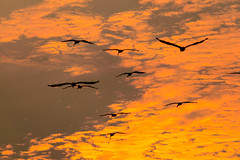 The Sunset Pelicans