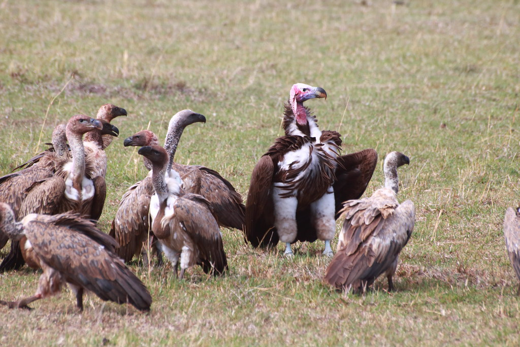 Nubian vulture amidst White backed and Rüpell's Griffon vultures