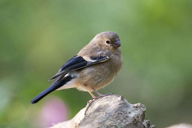 Bullfinch (juvenile)