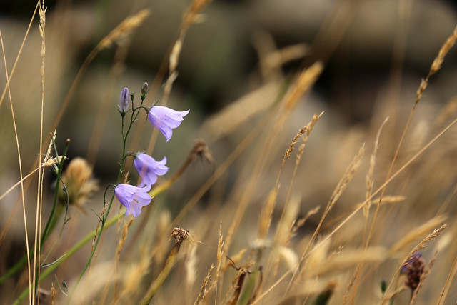 Blue bell, Canon EOS 6D, Canon EF 70-300mm f/4-5.6L IS USM