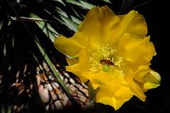 San Antonio - Flower With Bee