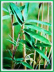Yellowish culms of Bambusa multiplex (Clumping Bamboo, Hedge Bamboo, Chinese Dwarf Bamboo, Buluh Pagar in Malay) with linear and green leaves, 26 Aug 2017