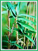 Bambusa multiplex (Clumping Bamboo, Hedge Bamboo, Chinese Dwarf Bamboo, Buluh Pagar in Malay)