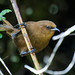 Rufous Wren - Photo (c) Nick Athanas, some rights reserved (CC BY-NC-SA)