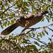 Plain Chachalaca (Ortalis vetula)_DSC4165-editCC por Dave Krueper