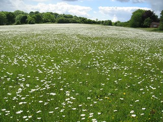 meadow full of ox eye daisies