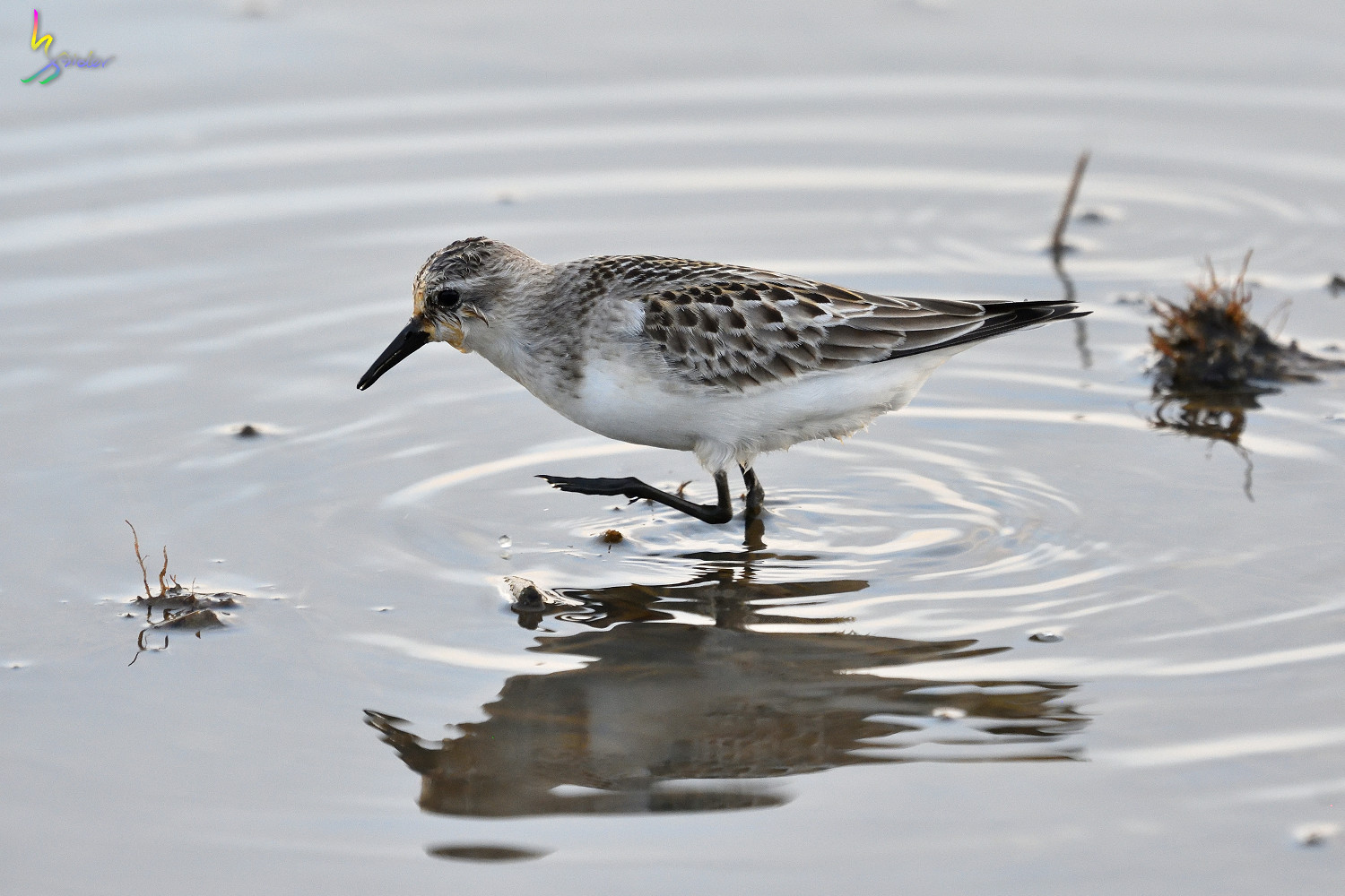 Red-necked_Stint_0389