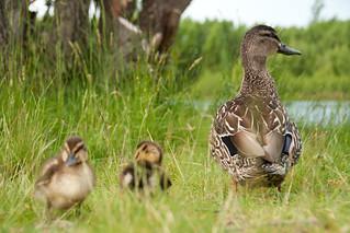 Ducks at Lake Pukaki