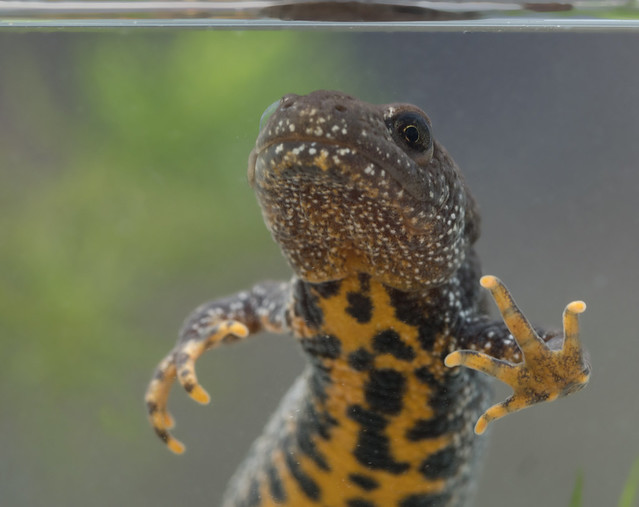 Great crested newt edited-5