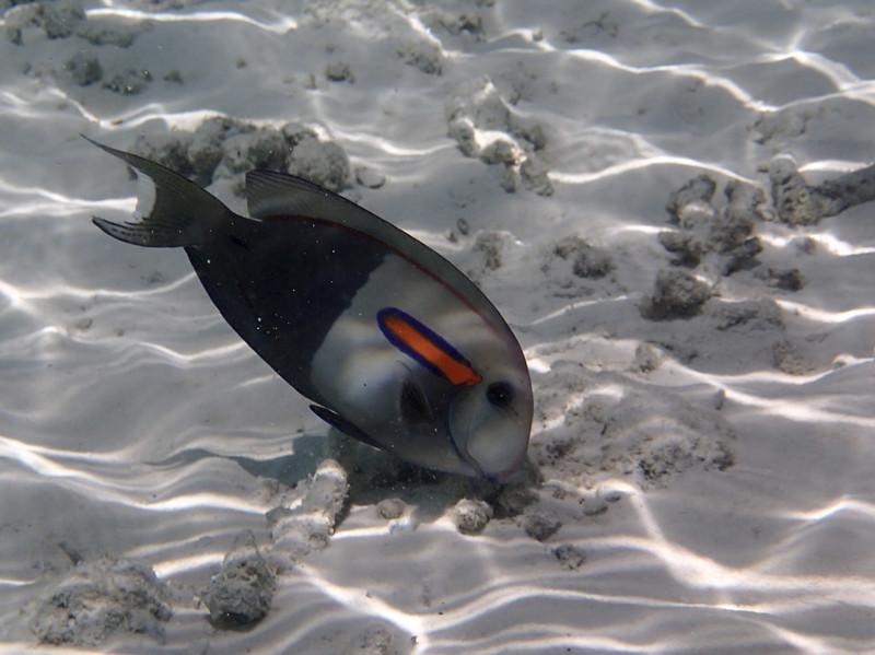 Orangeband surgeonfish_оранжевополосый хирург_P8060187+