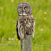 Great Gray Owl  6059 by Bonnieg2010