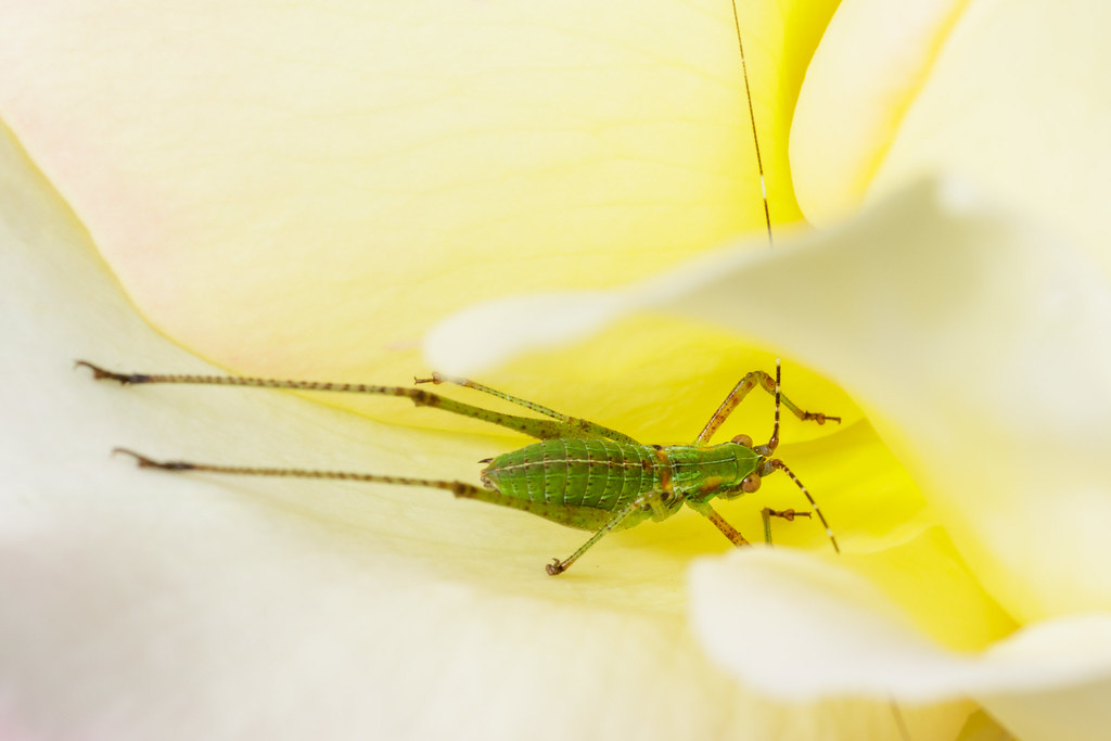 A fork-tailed bush katydid nymph nestles in a rose blossom