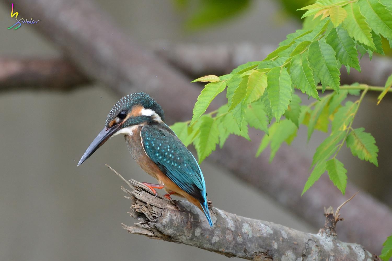 Common_Kingfisher_5424