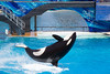 Shamu the killer whale