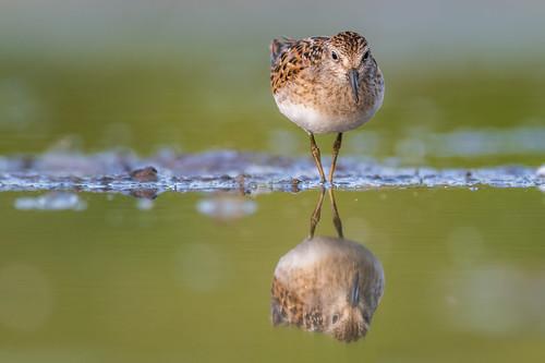 shorebird leastsandpiper wildlife nature calidrisminutilla water bird migration reflection sandpiper fortwashington pennsylvania unitedstates us nikon d500