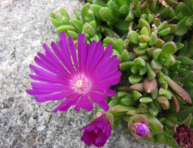 麗晃 Delosperma cooperi [哥本哈根大學植物園  Copenhagen University Botanical Garden]