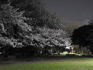 千葉公園お花見広場 夜桜06
