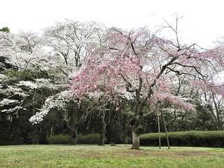 泉自然公園 12 枝垂れ桜
