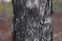 Shapsha Plot 3 Pinus sylvestris bark