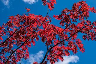 真っ青な空に真っ赤なナナカマド