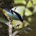 Tangara cyanotis - Blue-browed Tanager - Tangara Cejiazul - Tángara Cejona 02 by jjarango