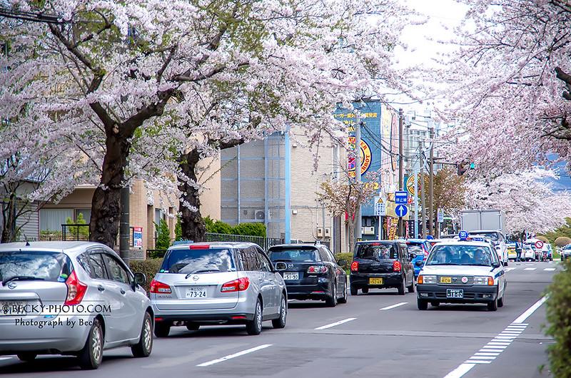 2017.May 日本函館五稜郭櫻花 @北海道Hakodate