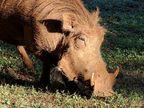 vlakvark warthog naturethroughthelens coth5