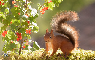 squirrel under branches with red currant