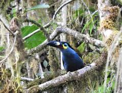 Plate-billed Mountain-toucan (Andigena laminirostris)