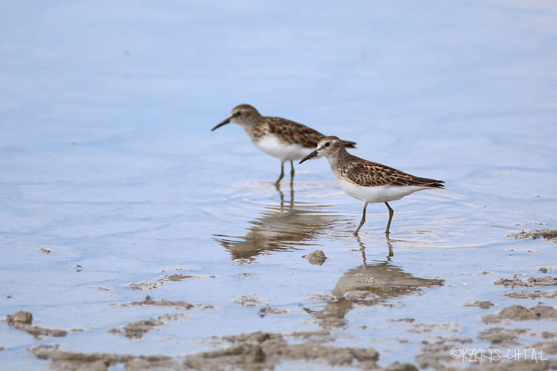 IMG_6162LeastSandpipers