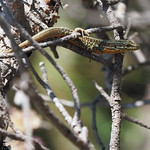 Sa, 22.07.17 - 12:20 - Lizard