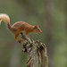 Red Squirrel in the Rain by Markp33