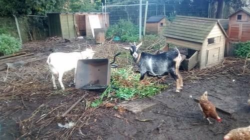 Pregnant goats Sept 17