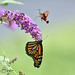 A Meeting on the Buddleia. (Explored) by dbifulco