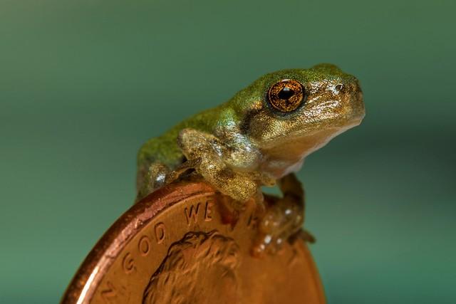 Juvenile Gray Treefrog (Hyla versicolor)