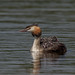 Great Crested Grebe with young-