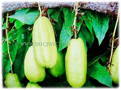 Captivating ripen fruits of Averrhoa bilimbi (Bilimbi, Bilimbi Tree, Cucumber Tree, Tree Sorrel, Belimbing Asam/Buloh in Malay) in light green to yellowish-green, 19 Aug 2017