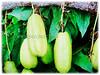 Averrhoa bilimbi (Bilimbi, Bilimbi Tree, Cucumber Tree, Tree Sorrel, Belimbing Asam/Buloh in Malay)