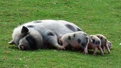 Cerza Zoo - piglets (2)