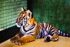 Tiger Kingdom Phuket.