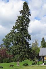 White Spruce Tree (Picea glauca)